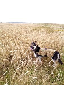 Saber wearing his Jasgood Tactical Dog Vest Harness