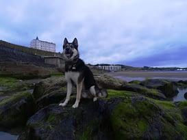 Saberdog on the rocks