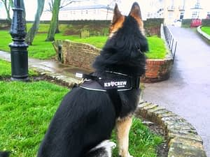 Saber wearing his K9 Crew Pro Harness