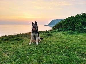 Saberdog My Dog And Best Friend. German Shepherd Siberian Husky Mix