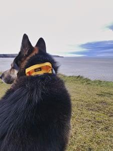 Regal Dog Tactical Dog Collar