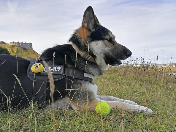 Saberdog wearing his Julius K9 Harness